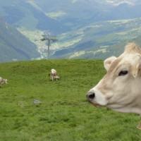 Alpen koe